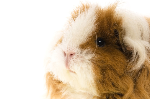Shy「guinea pig isolated on the white background」:スマホ壁紙(14)