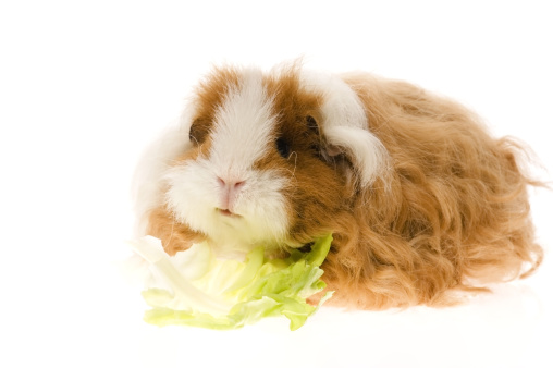 Shy「guinea pig isolated on the white background」:スマホ壁紙(1)