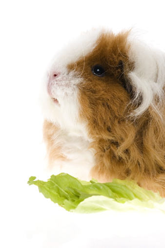 Shy「guinea pig isolated on the white background」:スマホ壁紙(7)