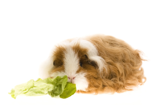 Shy「guinea pig isolated on the white background」:スマホ壁紙(16)