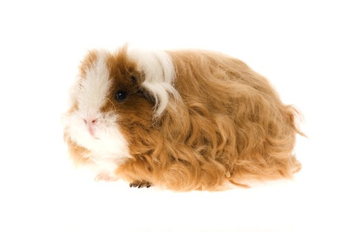 Shy「guinea pig isolated on the white background」:スマホ壁紙(3)