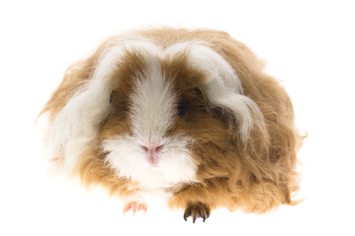 Shy「guinea pig isolated on the white background」:スマホ壁紙(19)