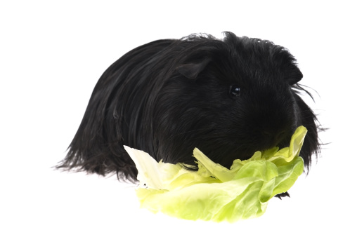 Shy「guinea pig isolated on the white background」:スマホ壁紙(5)