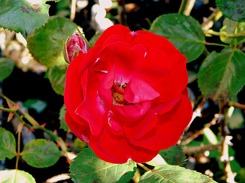 The Nature Conservancy「red rose close up」:スマホ壁紙(19)