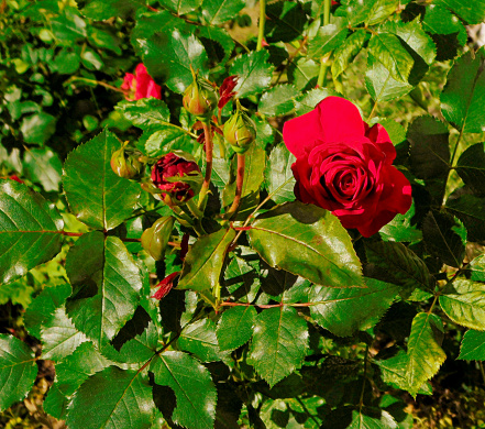 The Nature Conservancy「red rose close up」:スマホ壁紙(14)