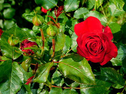 The Nature Conservancy「red rose close up」:スマホ壁紙(12)