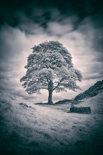 セイヨウカジカエデ「Sycamore Gap And Hadrian's Wall In Black And White」:スマホ壁紙(18)