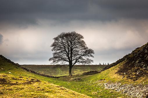 落葉樹「シカモア ギャップ - ハドリアヌスの長城 - ノーサンバーランド」:スマホ壁紙(9)