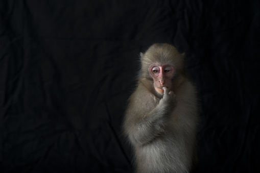 Japanese Macaque「Japanese monkey, Monkey northern limit」:スマホ壁紙(7)