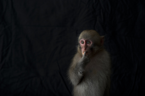 Japanese Macaque「Japanese monkey, Monkey northern limit」:スマホ壁紙(18)