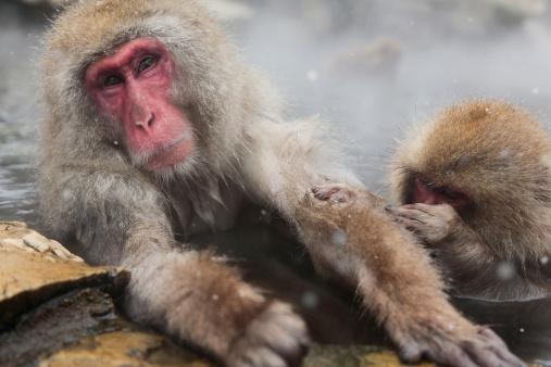 Spring Collection「Japanese Monkeys in Hot Spring」:スマホ壁紙(17)