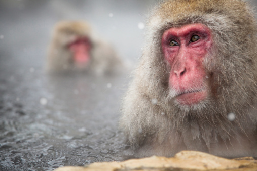 Spring Collection「Japanese Monkey in Hot Spring」:スマホ壁紙(18)