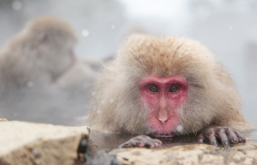 Spring Collection「Japanese Monkey in Hot Spring」:スマホ壁紙(19)