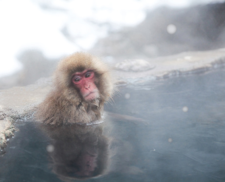 Spring Collection「Japanese Monkey in Hot Spring」:スマホ壁紙(16)