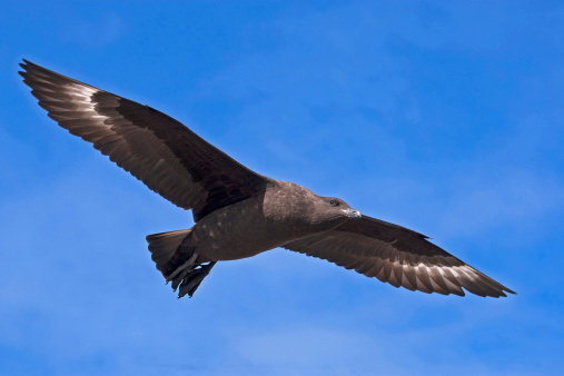 Aitcho Island「Brown skua. Flying.」:スマホ壁紙(1)