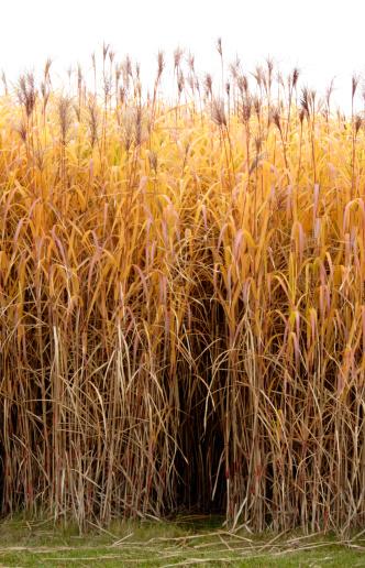 すすき「ゴールドの芝生」:スマホ壁紙(17)
