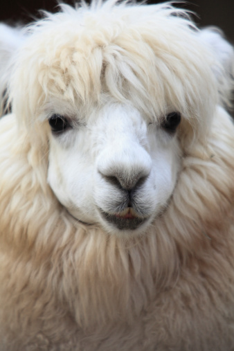 Alpaca「Alpaca」:スマホ壁紙(6)
