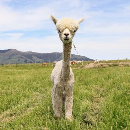Looking At Camera「Alpaca」:スマホ壁紙(11)