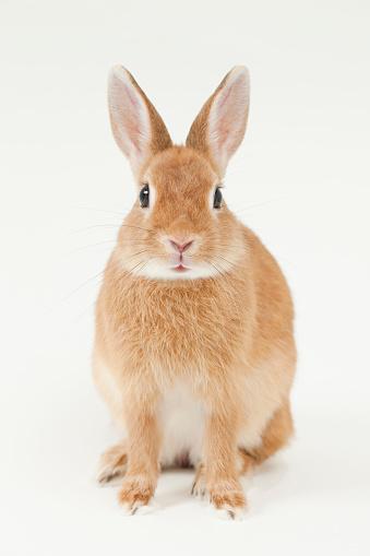 うさぎ「Rabbit」:スマホ壁紙(8)