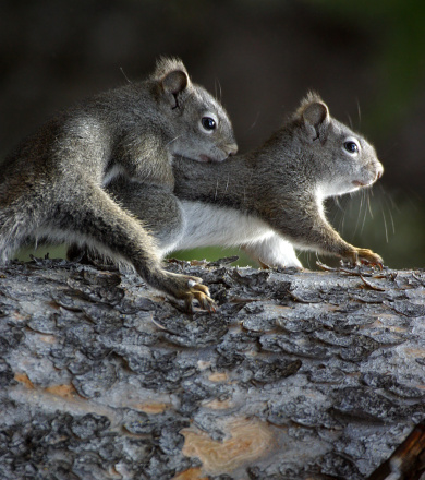 Gray Squirrel「Two Squirrels」:スマホ壁紙(3)