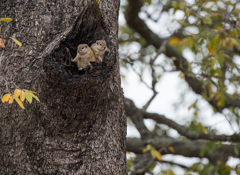 Squirrel「Two squirrels in a tree, South Africa」:スマホ壁紙(4)