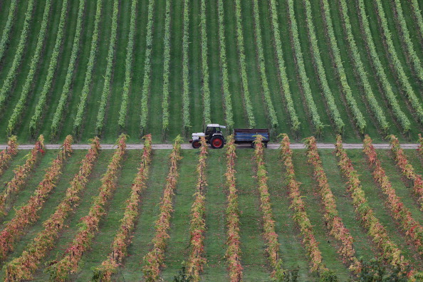 Agriculture「Staff At Denbies Vineyard Harvest The Current Crop As Experts Predict Exceptional Year For British Wine」:写真・画像(11)[壁紙.com]