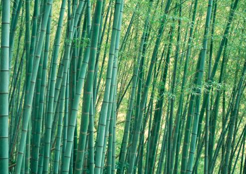 Bamboo「Bamboo Grove」:スマホ壁紙(1)