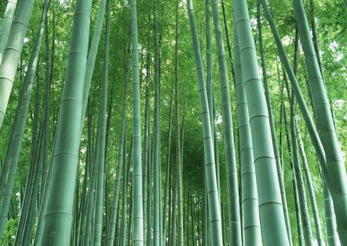 Bamboo「Bamboo grove」:スマホ壁紙(2)
