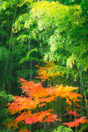 Japanese Maple「Bamboo grove and Japanese maple tree」:スマホ壁紙(12)