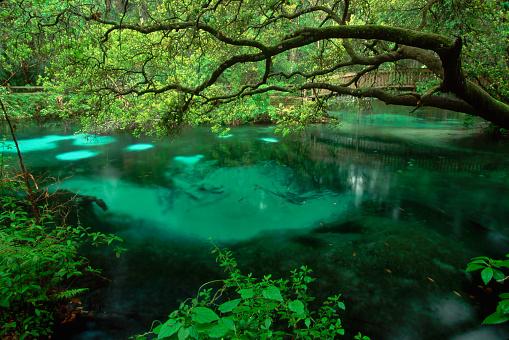 Ocala National Forest「Oak Overhanging Fern Hammock Springs」:スマホ壁紙(1)