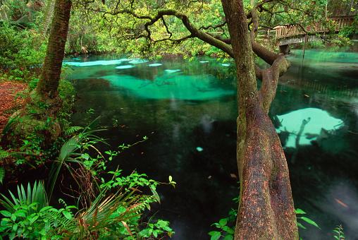 Ocala National Forest「Oak Overhanging Fern Hammock Springs」:スマホ壁紙(5)