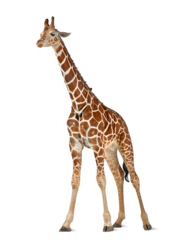 キリン「Somali Giraffe」:スマホ壁紙(1)