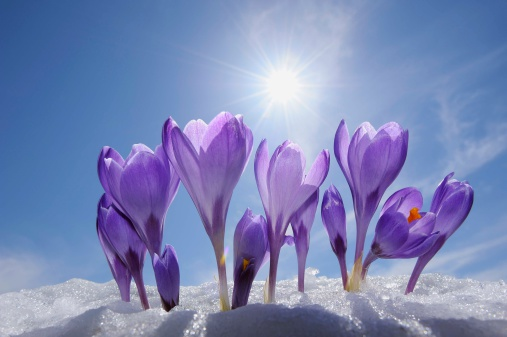 クロッカス「Crocuses in snow, Bavaria, Germany」:スマホ壁紙(9)