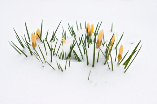 Crocus「Crocuses in snow」:スマホ壁紙(3)