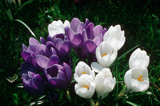 Crocus「Crocuses in Flower」:スマホ壁紙(5)