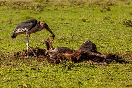 Runaway「The scene of marabou stork (leptoptilos crumenifer) eating a carrion of wildebeest」:スマホ壁紙(14)