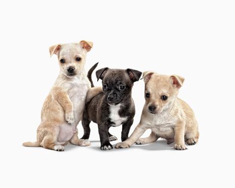 Three Animals「Three cute puppies on white background」:スマホ壁紙(19)