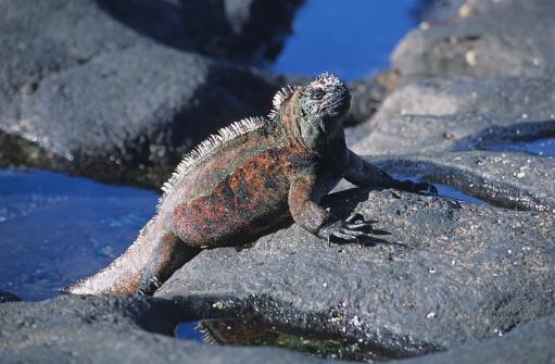 Basalt「Marine iguana, Amblyrhynchus cristatus, Iguanidae, Galapagos,」:スマホ壁紙(18)