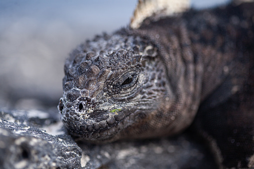 The Nature Conservancy「Marine iguana take a sun bath on the rocks at San Cristobal Galapagos Islands Ecuador」:スマホ壁紙(18)