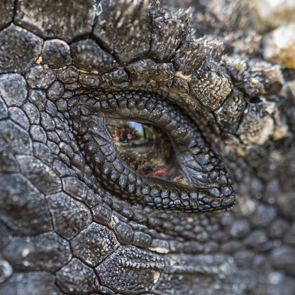 Iris - Eye「Marine iguana eye (Amblyrhynchus cristatus)」:スマホ壁紙(3)