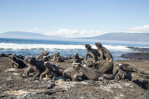Lava「Marine iguana」:スマホ壁紙(0)