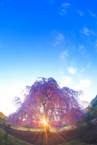 桜「Sun shining through weeping cherry tree」:スマホ壁紙(14)