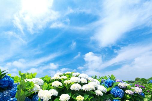 あじさい「Sun Shining Over Hydrangea Flowers」:スマホ壁紙(19)