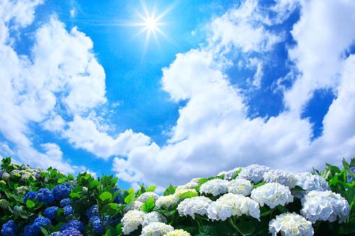 あじさい「Sun Shining Over Hydrangea Flowers」:スマホ壁紙(17)
