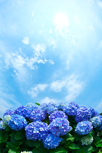 あじさい「Sun Shining Over Hydrangea Flowers」:スマホ壁紙(11)