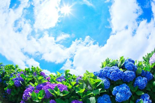 あじさい「Sun Shining Over Hydrangea Flowers」:スマホ壁紙(18)