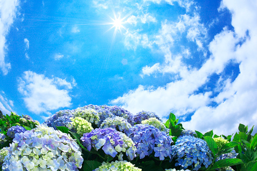 アジサイ「Sun Shining Over Hydrangea Flowers」:スマホ壁紙(8)