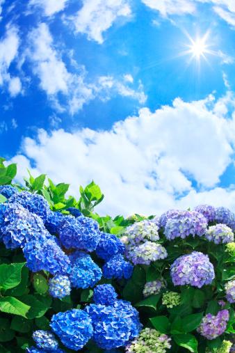あじさい「Sun Shining Over Hydrangea Flowers」:スマホ壁紙(5)