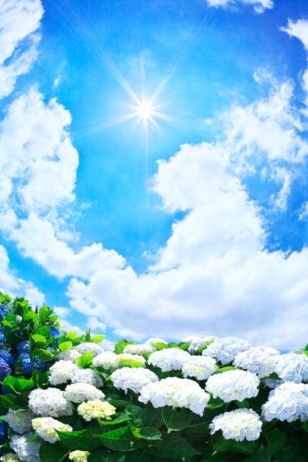 あじさい「Sun Shining Over Hydrangea Flowers」:スマホ壁紙(6)