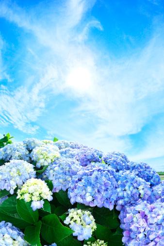 あじさい「Sun Shining Over Hydrangea Flowers」:スマホ壁紙(2)